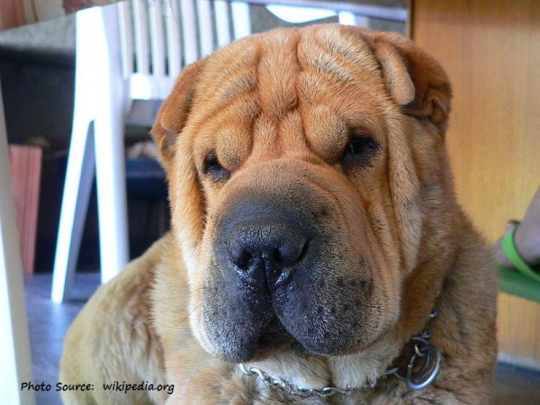 800px-Sushisharpei - photo credit wikipedia.org CAPTIONED